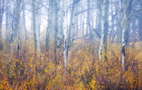 Misty Aspens, Kananaskis Country Alberta