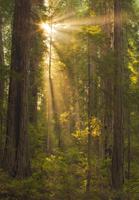 Redwoods Evening