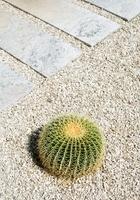 Cactus in gravel path in garden