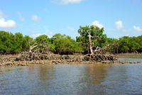 Mangroves In The Swamp. Everglades. Florida. Usa