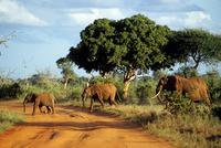 Kenya. Samburu Ntl. park. Herd Of Elephants with Calfs (loxodonta Africana)