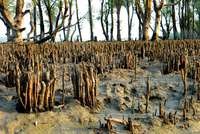 Mangroves. Sundarbans National Park. Bangladesh