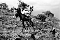 Ethiopia. Donkey. Bahir Dar