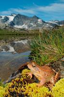 Italy. Aosta Valley. Gran Paradiso National Park. Frog. (rana Temporaria)