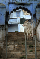 Asia. India. Rajasthan. Pushkar. Cow In The Street