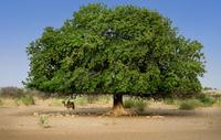 India. Rajasthan. Sam. Thar Desert. Tree And Camel