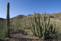 Saguaro cacti and Organ pipe cactus (Stenocereus thurberi) in the Sonoran desert, Organ Pipe Cactus National Monument, Arizona,