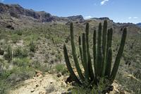Organ pipe cacti (Stenocereus thurberi) in the Sonoran desert, Organ Pipe Cactus National Monument, Arizona, US. (Photo by: Arte