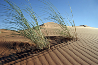 Dune bushman grass / dune reeds (Stipagrostis amabilis) on sand dune in the Namib desert, Namibia, South Africa. (Photo by: Arte