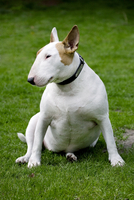 Bull terrier dog sitting on lawn in garden. (Photo by: Arterra/UIG)
