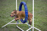 Cocker spaniel dog jumping through tyre in an obstacle course at agility field of dog school. (Photo by: Arterra/UIG)