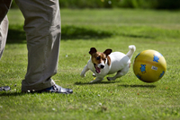 Playful active Jack Russell terrier dog playing with owner with ball in garden. (Photo by: Arterra/UIG)