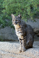 North American bobcat (Lynx rufus / Felis rufus) portrait in the Sonora desert, Arizona, US. (Photo by: Arterra/UIG)