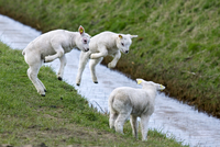 Three lambs (Ovis aries) playing / jumping in field with brook. (Photo by: Arterra/UIG)