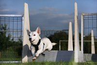Jack russell (Canis lupus familiaris) jumping over hurdle at obstacle course. (Photo by: Arterra/UIG)
