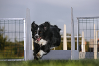 Border Collie (Canis lupus familiaris) jumping over hurdle at obstacle course. (Photo by: Arterra/UIG)