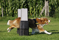 Border Collie (Canis lupus familiaris) jumping with ball in mouth over hurdle at obstacle course. (Photo by: Arterra/UIG)