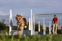 Cocker spaniel (Canis lupus familiaris) jumping over hurdle at obstacle course. (Photo by: Arterra/UIG) 20053015745| 写真素材・ストックフォト・画像・イラスト素材|アマナイメージズ