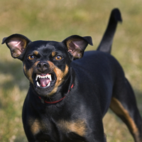 Manchester Terrier (Canis lupus familiaris) showing teeth while growling. (Photo by: Arterra/UIG)
