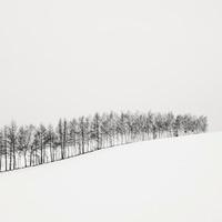 Line Of Birch Trees, Hokkaido, Honshu, Northern Japan