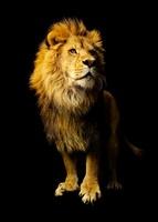 Lion  20055005318| 写真素材・ストックフォト・画像・イラスト素材|アマナイメージズ