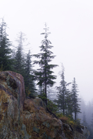 Evergreen Trees Growing On A Cliff In Winter
