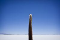 A Lone Cactus On The Island Of Incahuasi With The Salar De U