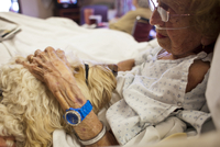 Nonagenarian Petting A Golden Doodle Trained Therapy Dog Whi