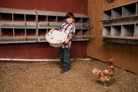 Young boy collects chicken eggs on his family farm