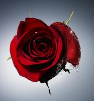 a rose transition