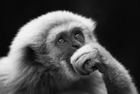 A Gibbon monkey in deep thought.