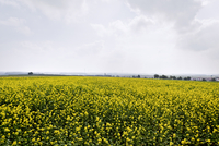 Countryside With A Huge Field Of Yellow Flowers
