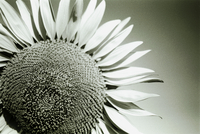 Close Up Black And White Sunflower With Sky In Background