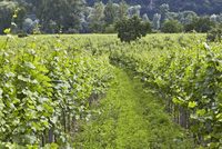 Lush Vineyard In The Wachau Wine Valley 20055014926| 写真素材・ストックフォト・画像・イラスト素材|アマナイメージズ