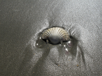A Scallop Shell On The Beach Catches The Sun Glare