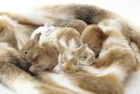 Seven Baby White And Brown Mini Rex Rabbits Sleeping On Rabb