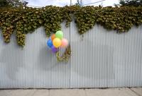 Balloon Ivy