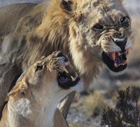 Lions close-up