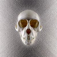 Skull of a monkey