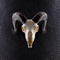 Skull of a ram