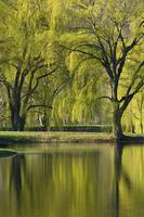 Spring Willows over pond, Hudson Highlands, New York, USA.