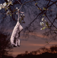 Pink Mitten Hanging In Tree With White Buds and Sunset Sky