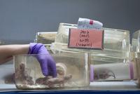 A gloved hand reaches into a container of naked mole rats