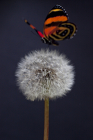 Macro Still life of butterfly on a dandelion