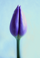 Macro Still life of purple tulip