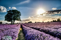 A Sole Tree In A Field Full Of Stunning Purple Lavender.