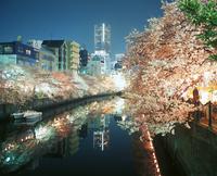 Cherry Blossoms Illuminated By Artificial Light Along The Oka River In Yokohama.