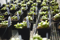 Rows of basil beginning to sprout.