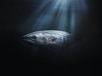 Tuna underwater 20055021010| 写真素材・ストックフォト・画像・イラスト素材|アマナイメージズ
