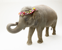 Elephant with a Polynesian flower headband